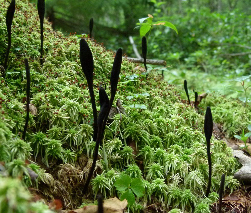 Grafik 1: Sphagnum Torfmoos im natürlichen Habitat