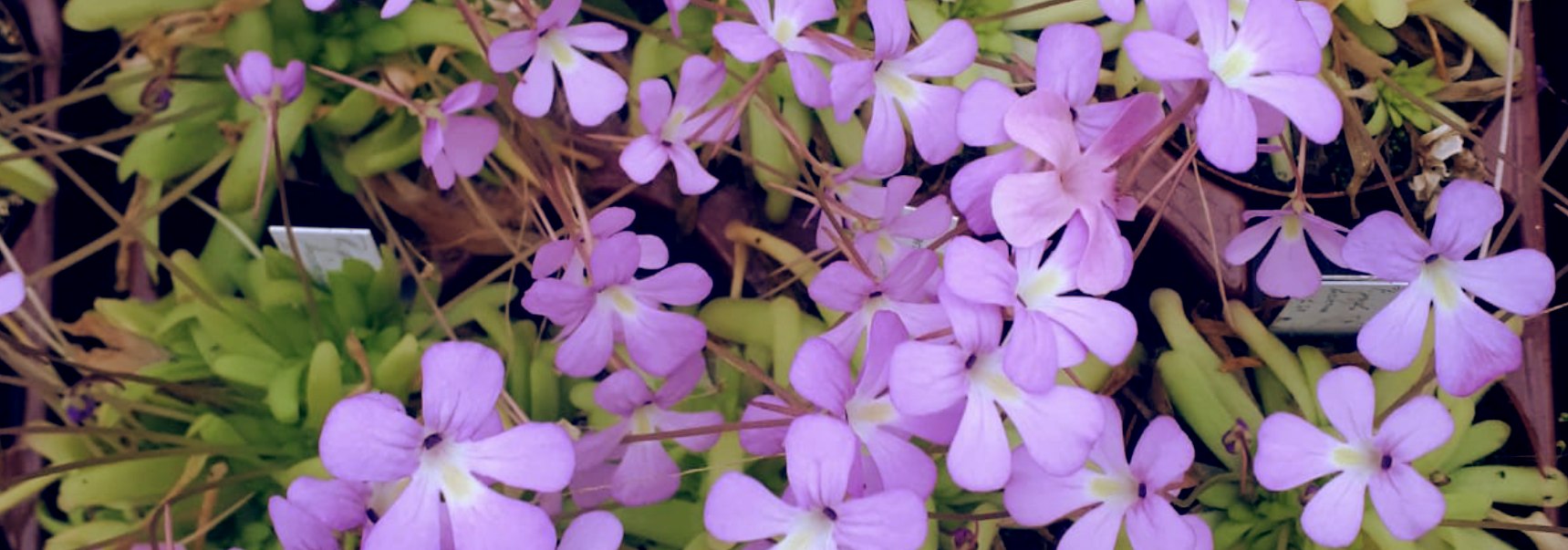 pinguicula-blüten